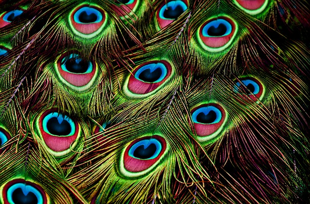 peacock-feathers-3617474_640.jpg
