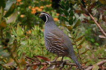 quail-504658_640